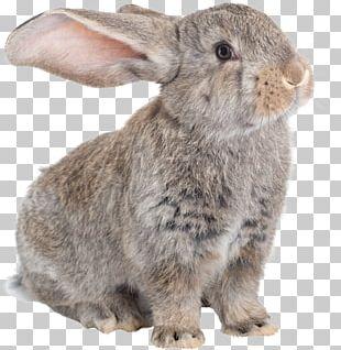 Domestic Rabbit Flemish Giant Rabbit Hare Dog Angora Rabbit PNG
