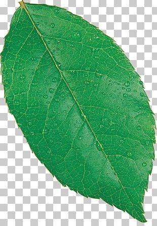 Maple Leaf Fagus Grandifolia European Beech Autumn Leaf Color PNG