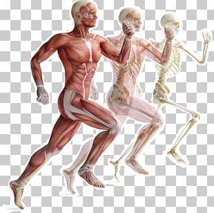 Skeletal Muscle Human Skeleton Muscular System Human Body PNG