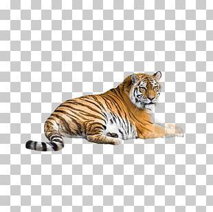Siberian Tiger Bengal Tiger South China Tiger Indochinese Tiger Malayan Tiger PNG