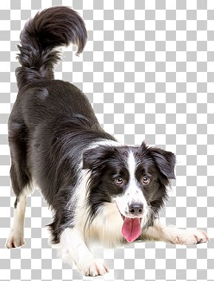 Border Collie Puppy Cat Pet Veterinarian PNG
