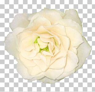 Large White Rose PNG