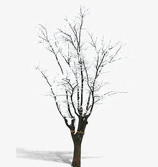 Snow Trees PNG