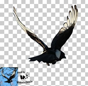 Bald Eagle Eurasian Magpie Portable Network Graphics PNG