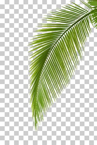 Arecaceae Leaf Photography Palm Branch PNG