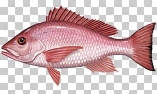 Fishing Northern Red Snapper International Game Fish Association African Red Snapper PNG