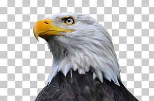 Bald Eagle Stock Photography PNG