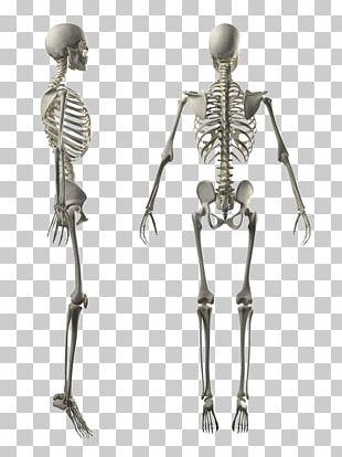 Human Skeleton Human Body Stock Photography Anatomy PNG