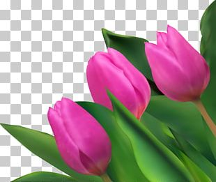 Tulip Purple Flower PNG