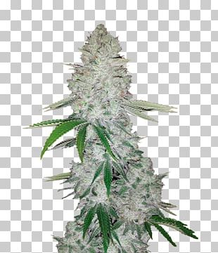 Gorilla Glue Autoflowering Cannabis Seed Cannabis Sativa PNG