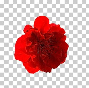 Carnation Cut Flowers Rose Family Petal PNG