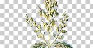 Twig Botany Flower Plant Botanical Illustration PNG