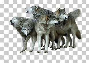 Alaskan Tundra Wolf Coyote PNG