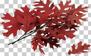 Autumn Leaves Leaf Tree Northern Red Oak PNG