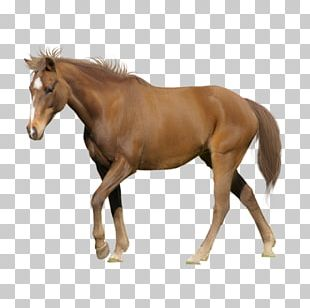 Tennessee Walking Horse Appaloosa American Miniature Horse Arabian Horse Stallion PNG