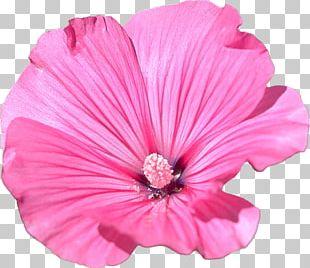 Mallow Flower Garden Petal PNG