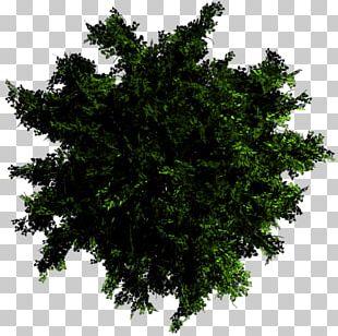 Branch Oak Honey Locust Tree Evergreen PNG