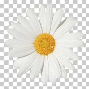 Common Daisy Flower Chamomile Stock Photography PNG
