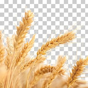 Common Wheat Wheat Allergy Ear Cereal Harvest PNG