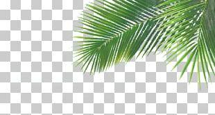 Arecaceae Green Leaf PNG