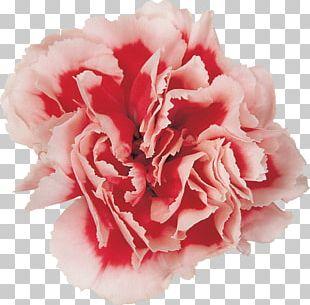 Carnation Cut Flowers Photography Flower Bouquet PNG