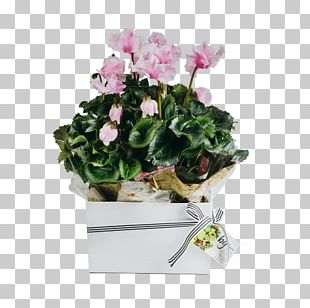 Cyclamen Houseplant Gift Cut Flowers PNG