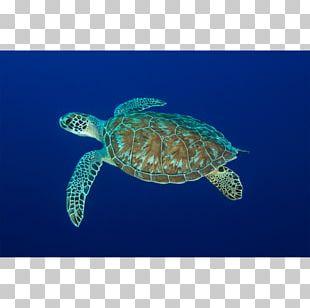 Loggerhead Sea Turtle Leatherback Sea Turtle Pond Turtles Reptile PNG