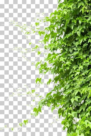 Vine Tree Branch PNG