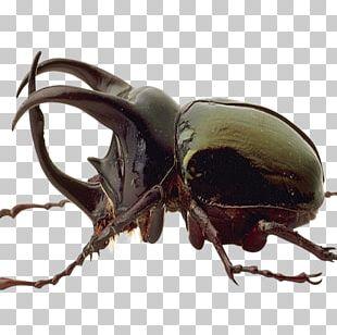 Japanese Rhinoceros Beetle Black Color PNG