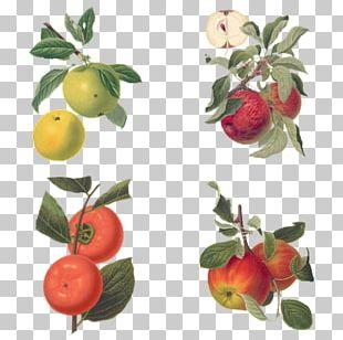 Barbados Cherry Botany Botanical Illustration Drawing Apple PNG