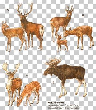 White-tailed Deer Elk Reindeer Musk Deers PNG