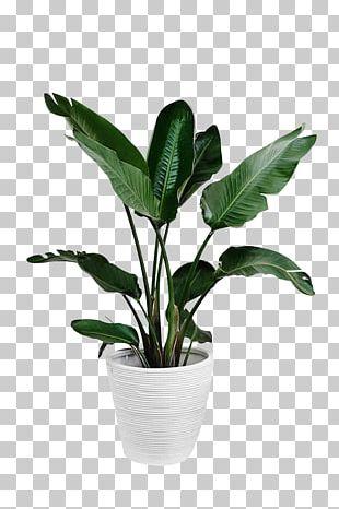 Arecaceae Plant Leaf Palm Branch PNG