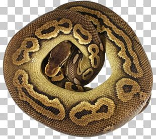 Boa Constrictor PNG