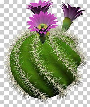 Cactus Culture For Amateurs Cactaceae Strawberry Hedgehog Cactus Succulent Plant PNG