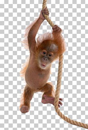 Sumatran Orangutan Bornean Orangutan Ape Monkey PNG