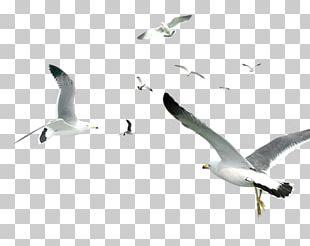 Bird Gulls Computer Graphics PNG