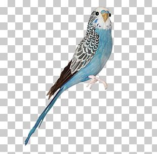 Blue Budgerigar Mutation Bird Parakeet Blue Jay PNG