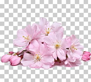 Cherry Blossom Flower Stock Photography PNG