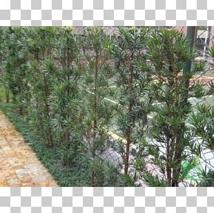Plant Shrub Garden Plum Pine Sago Palm PNG