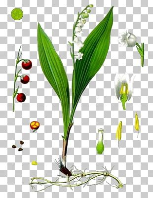 Kxf6hlers Medicinal Plants Lily Of The Valley Lilium Flower PNG