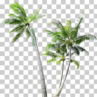Arecaceae Tree Coconut Trunk PNG