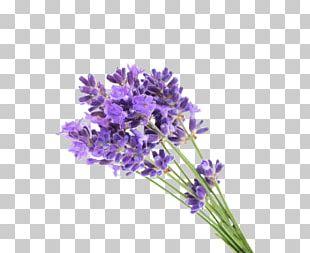 English Lavender Flower Gel Lavender Oil PNG