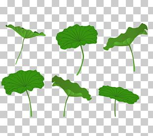 Leaf Nelumbo Nucifera Lotus Effect PNG