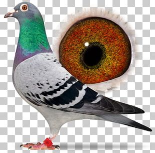 Racing Homer Columbidae Homing Pigeon Beak Bird PNG