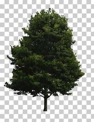 Spruce Tree Of Life Fir Oak PNG