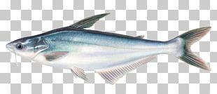 Iridescent Shark Basa Fish Seafood Pangasius Pangasius PNG