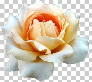 Garden Roses Cabbage Rose China Rose Floribunda Cut Flowers PNG