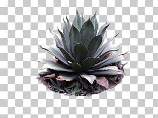Agave Azul Centuryplant Agave Angustifolia Pilosocereus Pulque PNG