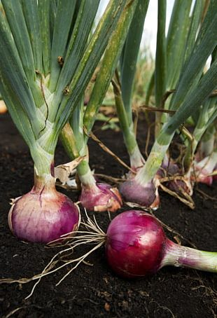 Garlic Potato Onion Plant Seed Sowing PNG