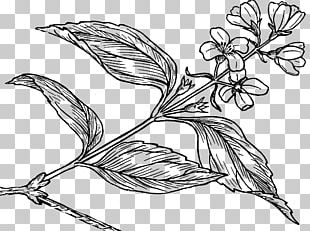 Lilac Syringa Coloring Book PNG